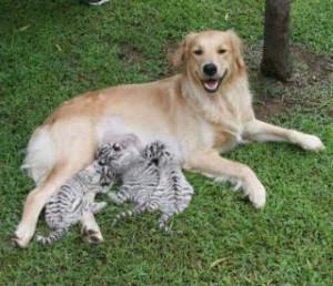 cachorros-de-tigres_5