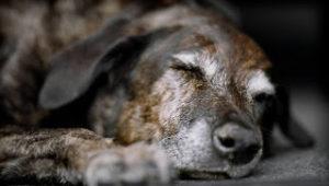 perro-geriatrico